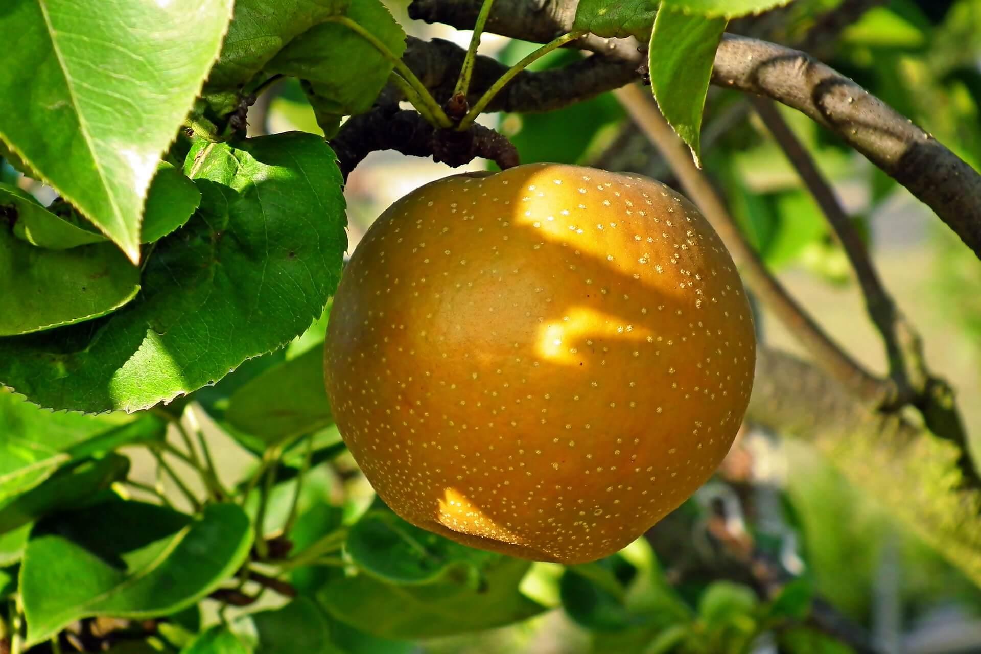 Asian pear still on the tree