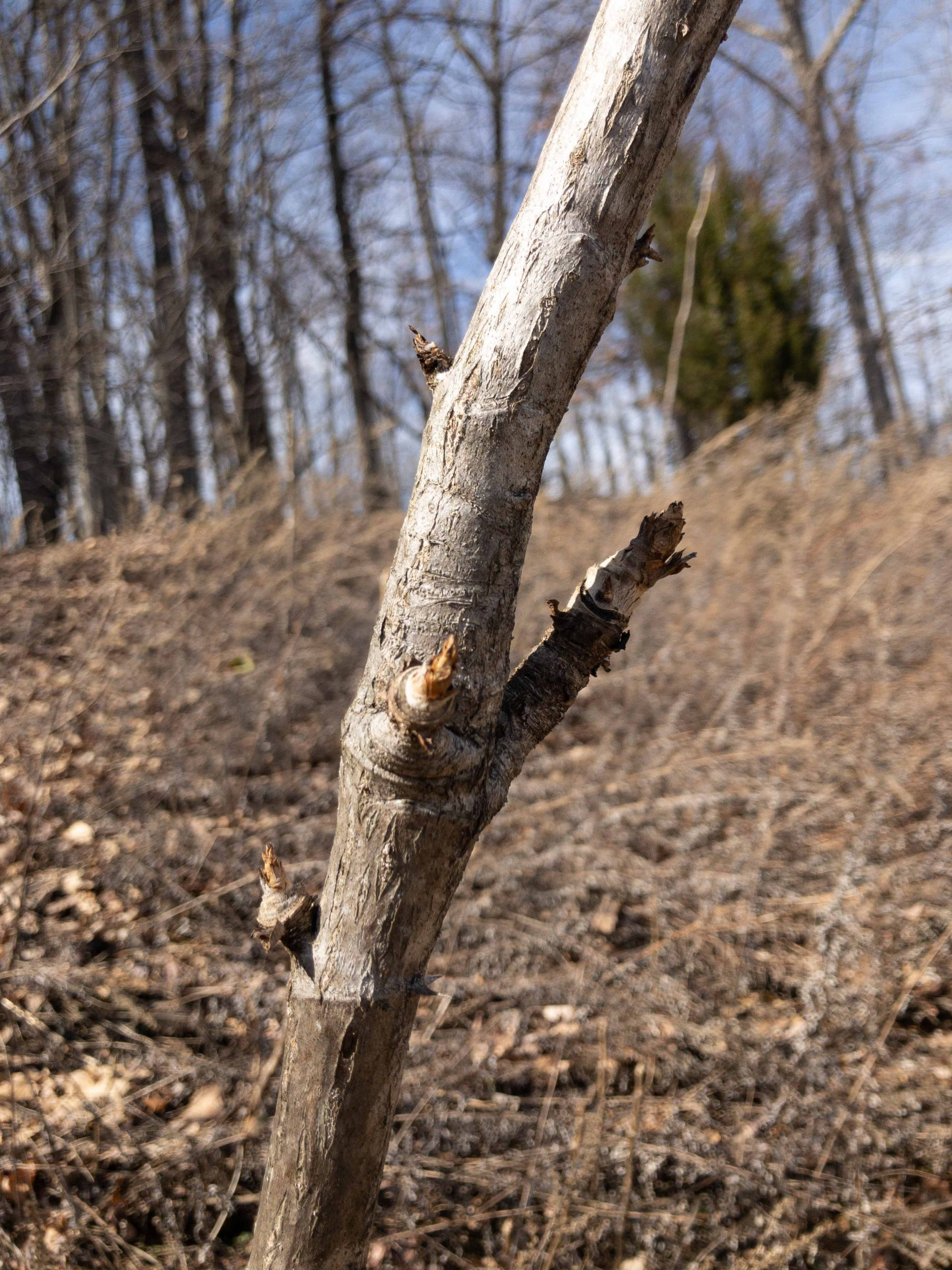 Angelica Tree Shoot tree to make dureup.