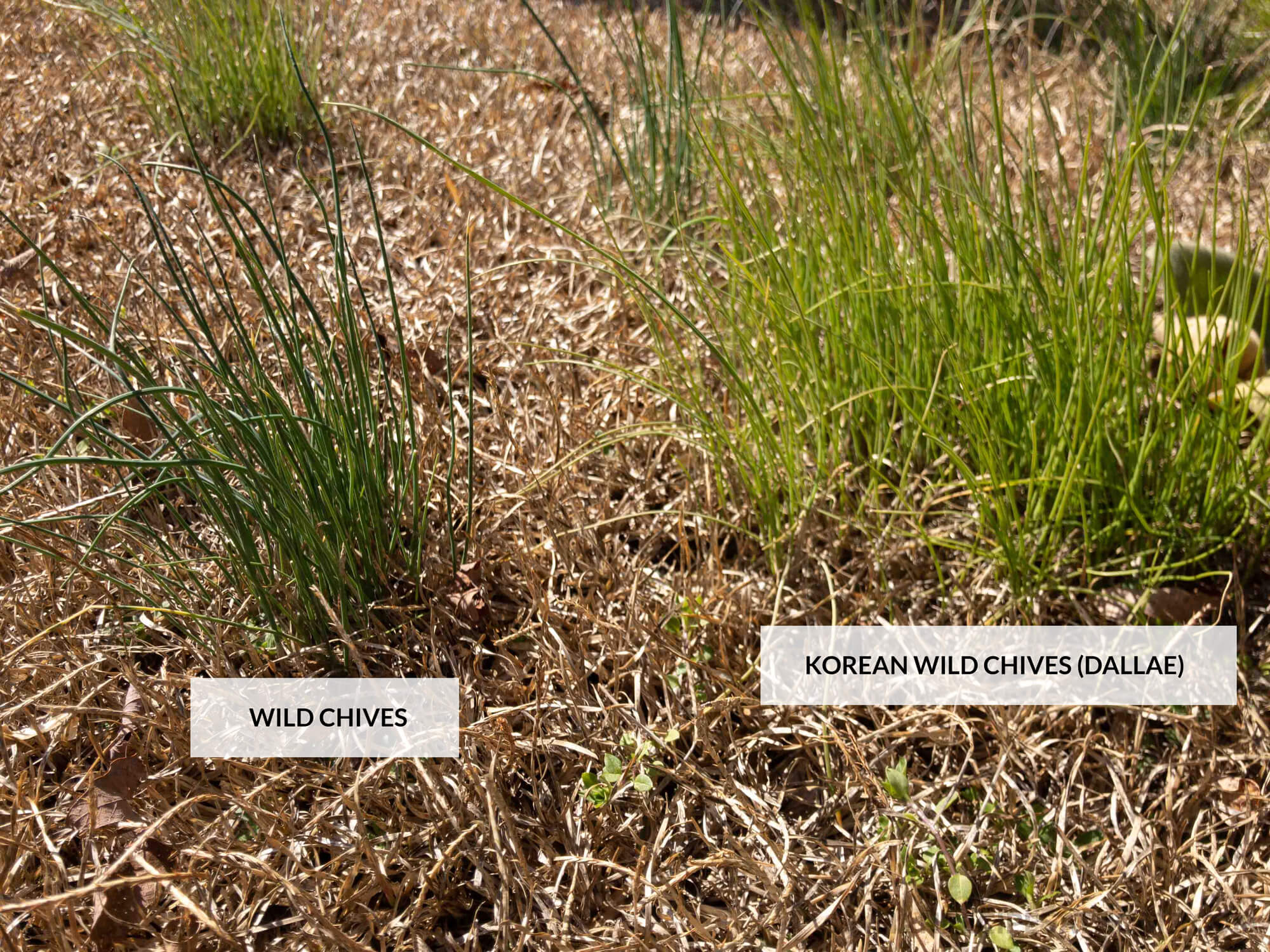Difference between regular wild chives and Korean wild chives growing in the wild