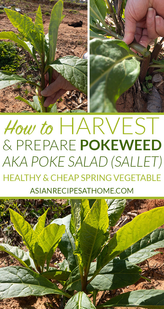 How to harvest and prepare pokeweed or poke salad (sallet)